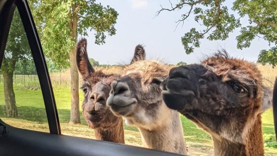Safari Lake Geneva llamas Drive Thru Zoo