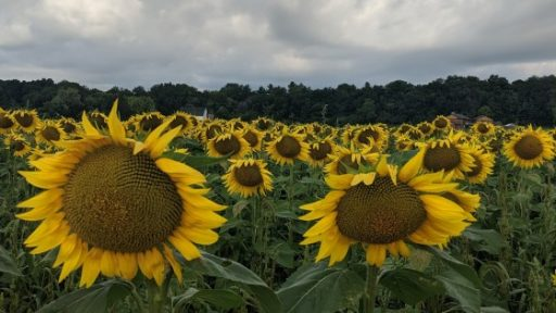 Sunflower farms